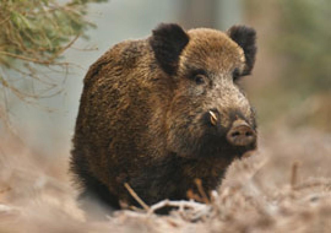 Das Wilschwein